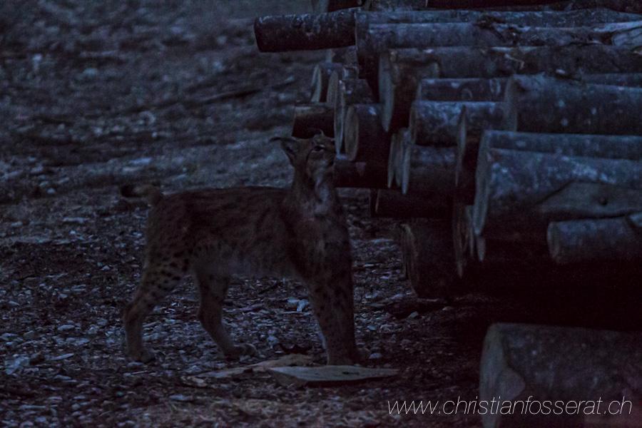 Lynx d'Eurasie (Lynx lynx)-3063