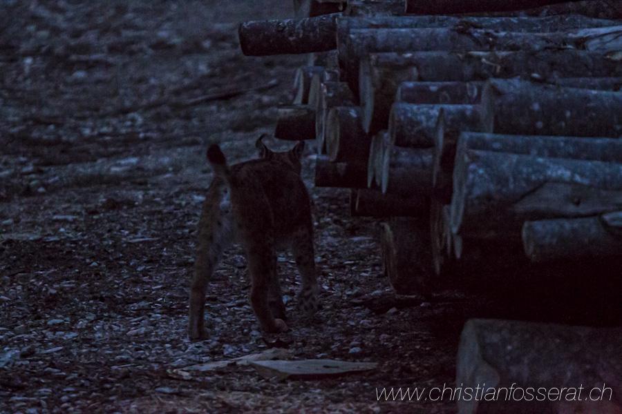 Lynx d'Eurasie (Lynx lynx)-3077