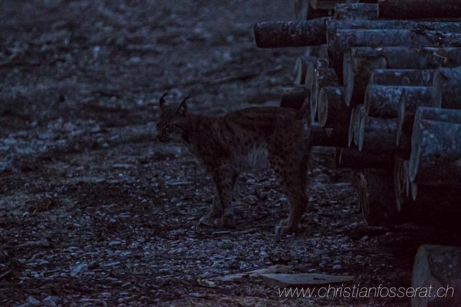 Lynx d'Eurasie (Lynx lynx)-3084