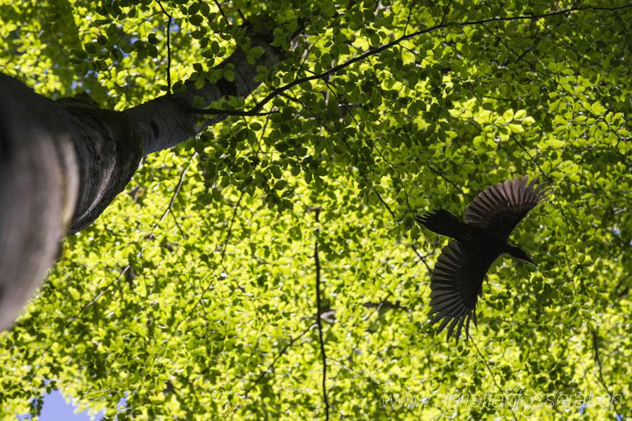 Pic noir (Dryocopus martius)-7606