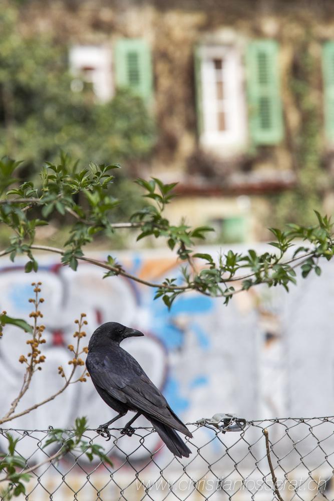 Corneille noire (Corvus corone)-4253