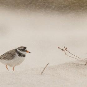 Sand(sturm)regenpfeifer - Common Ringed Plover