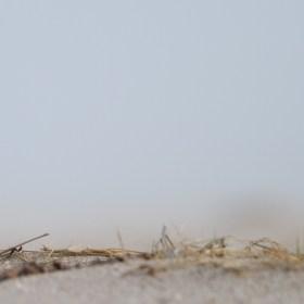 Seeregenpfeifer - Kentish Plover