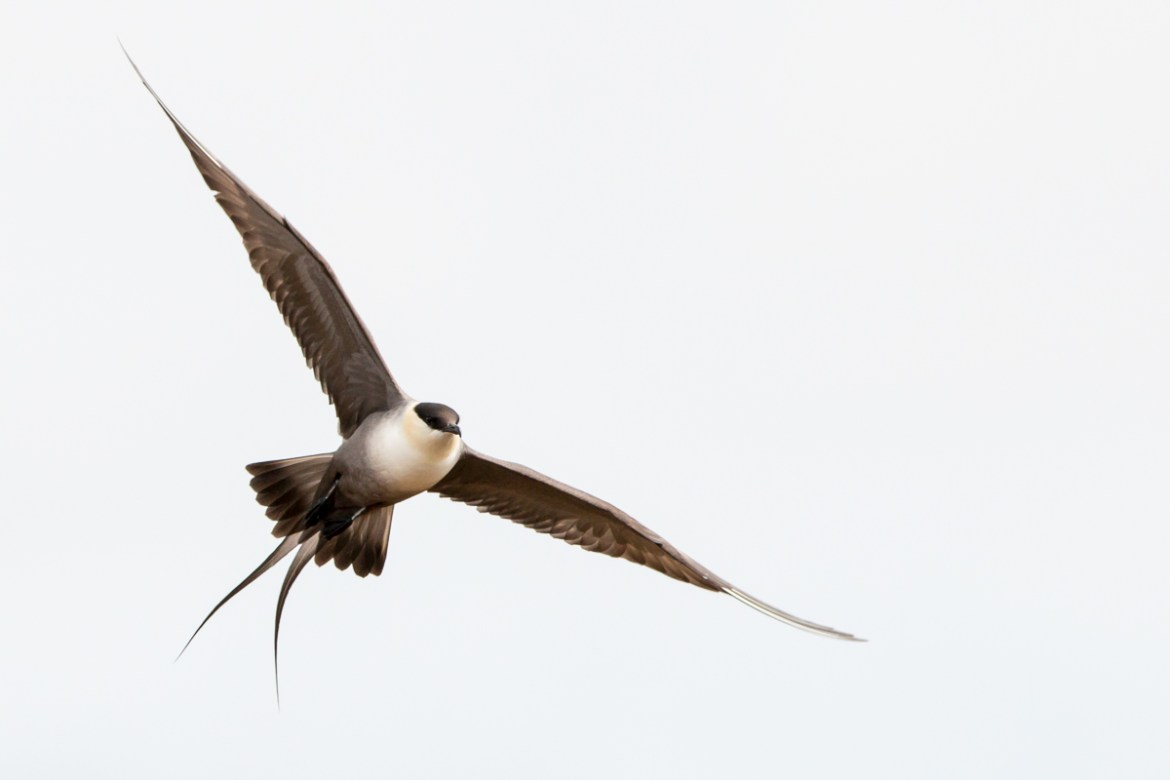 Falkenraubmöwe - Long tailed Skua