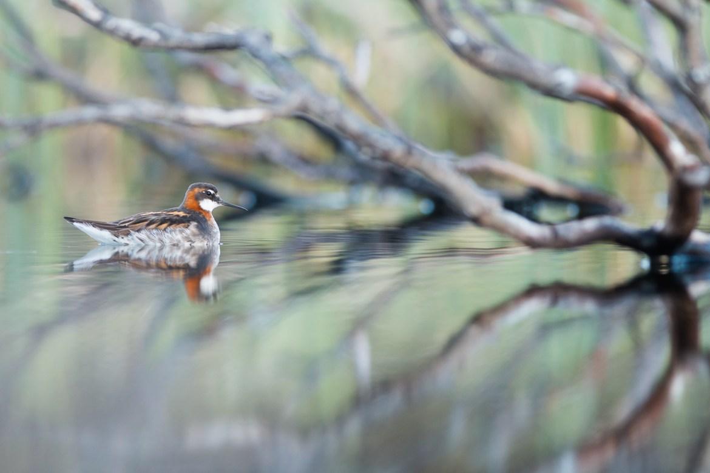 Red necked Phalarope - Odinshühnchen
