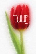tulipp