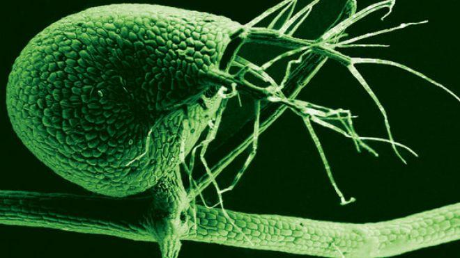 bladderwort-plant