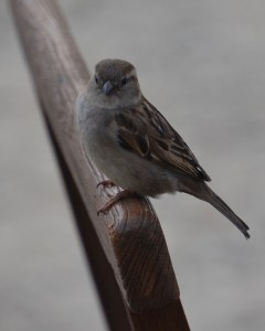 Sparrow on a seat back