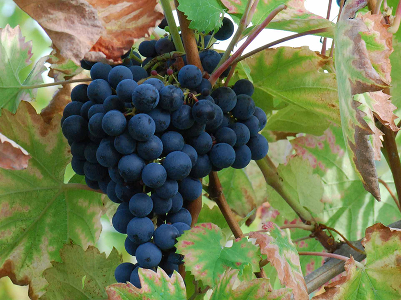 A bunch of Mourvèdre grapes on the vine—a variety used to produce top rosé wines