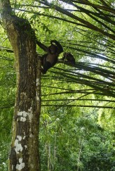 A young chimpanzee hangs off the side of a tree with lots of green leaves in the background