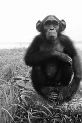 A young chimpanzee sits on its haunches with one arm draped over its knees looking at the camera
