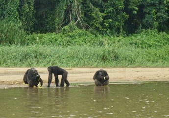 Three chimpanzees gather on a sandy shore or a brown river