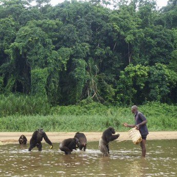 Four adult chimpanzees wading in shallow water near a man who is offering fruit with a forest in the background