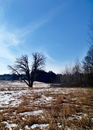 A bare tree standing in a field of brown grass partially covered with snow under a blue sky