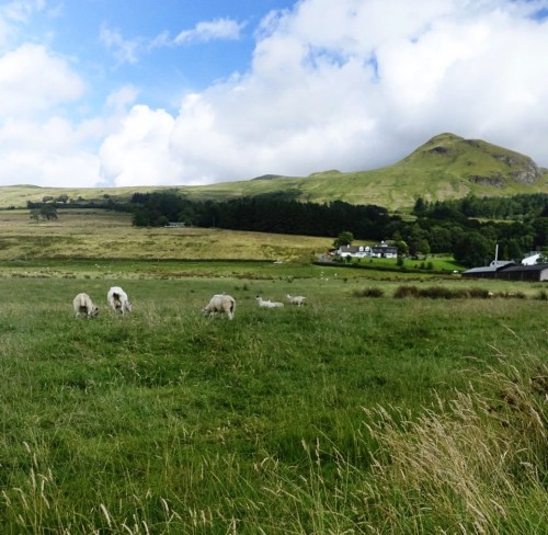 A pasture with sheep and small hills in the background on the West Highland Way