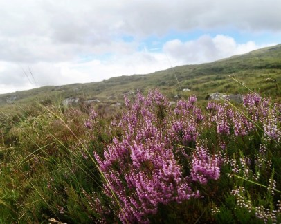 A bush of heather flowers in the foreground on a hill on the West Highland Way