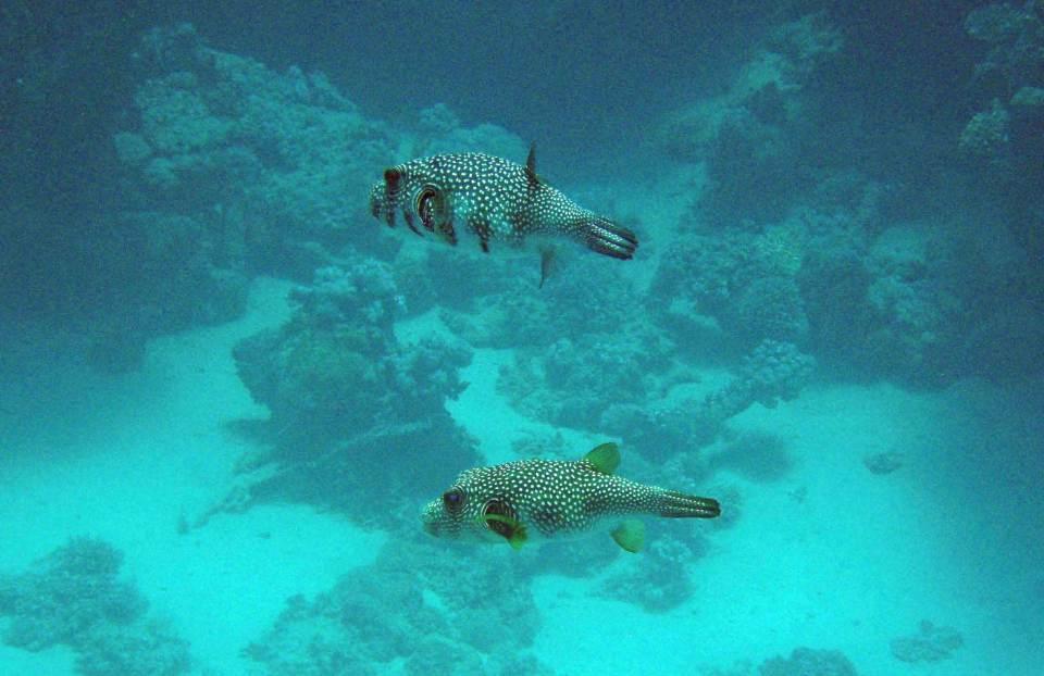 Kugelfische in Marsa Alam
