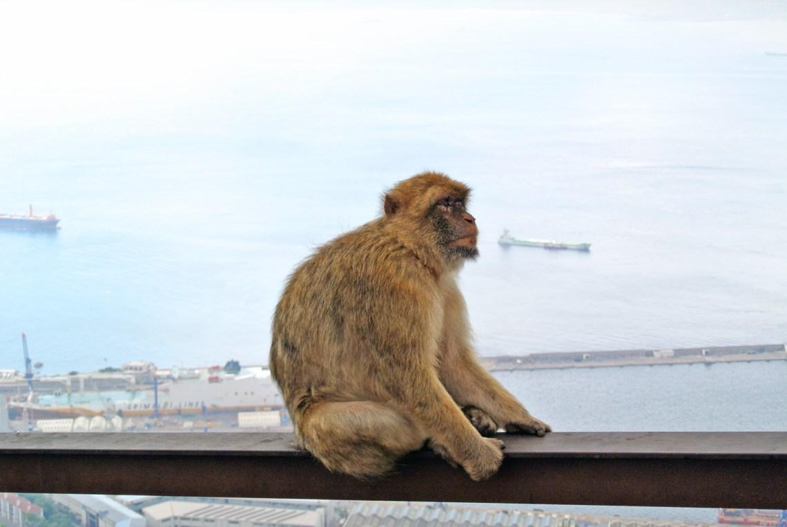Affe Gibraltar