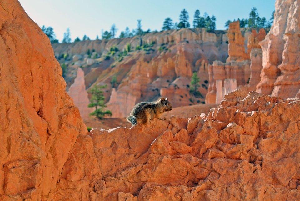 Streifenhörnchen Bryce Canyon