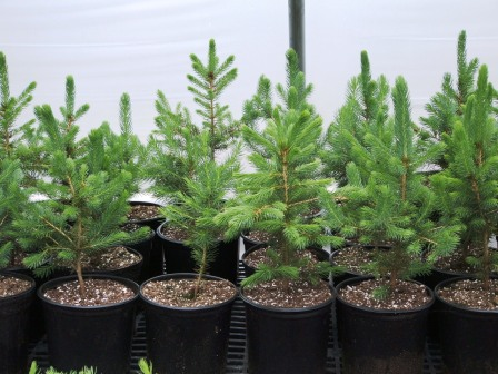 15 To 2 Foot Tall Blue Spruce In A One Gallon Pot