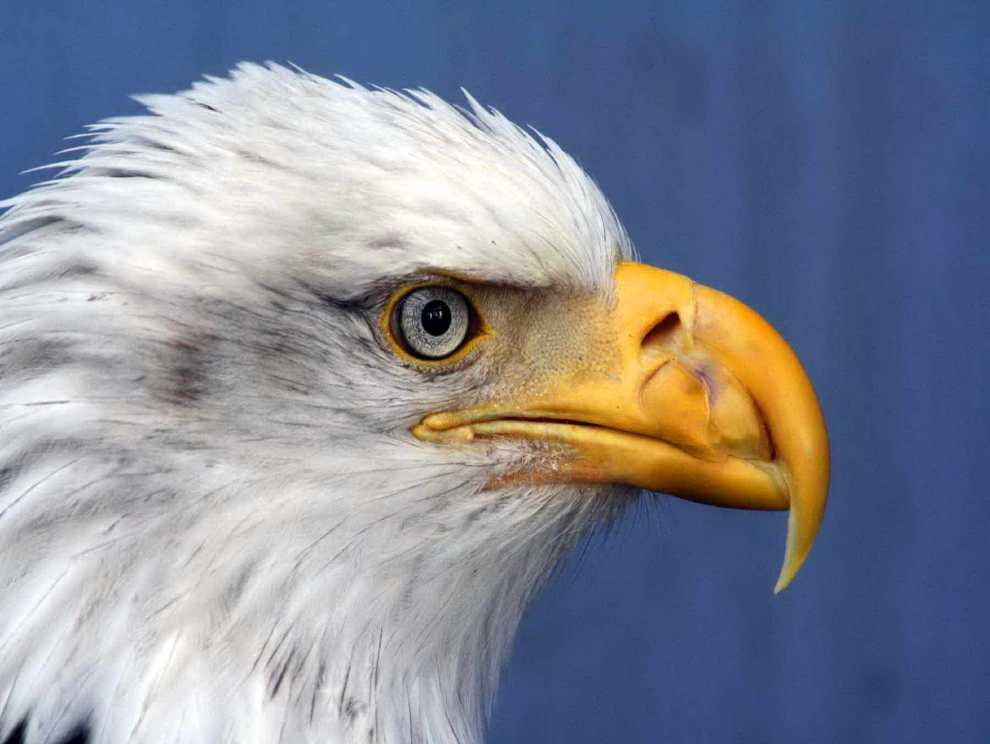Bald Eagle. Photo: public-domain-image.com