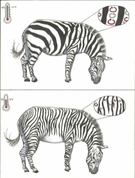 Adaptive Hypotheses for Zebra Stripes © Jong Kwan Lee (Project Summary)
