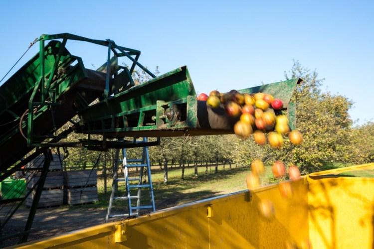 récolte des pommes pour le cidre a berne pouldreuzic