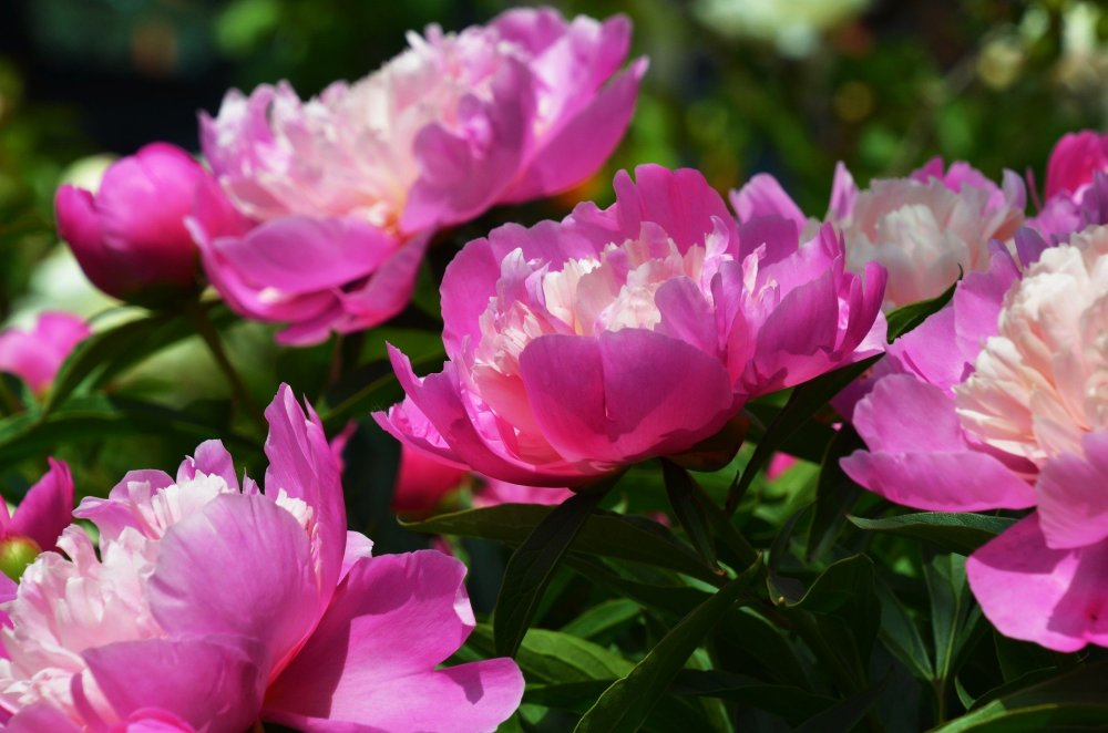https://pixabay.com/de/photos/pfingstrose-pfingsten-blume-rosa-4214148/