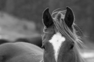 Black and white photo of a horse