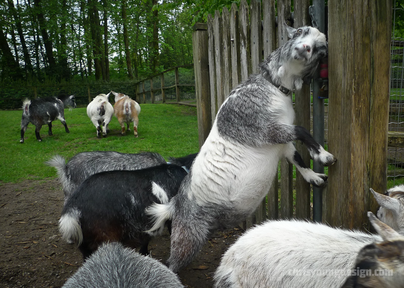 Pygmy Goat at Maplewood Farm