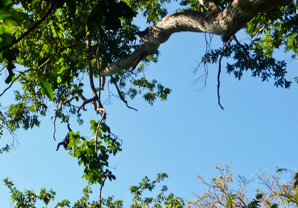 A howler monkey jumps from a branch just above us in the bottom left corner.