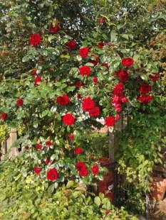 Rose, Dublin Bay