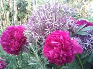 Peonies, Allium Christophii