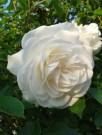 Rose, Iceberg