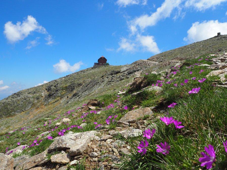 Zirbitzkogel und Blumen