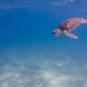 akumal schildkröten schnorcheln