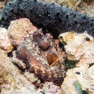 Rab Tauchen Kroatien Oktopus
