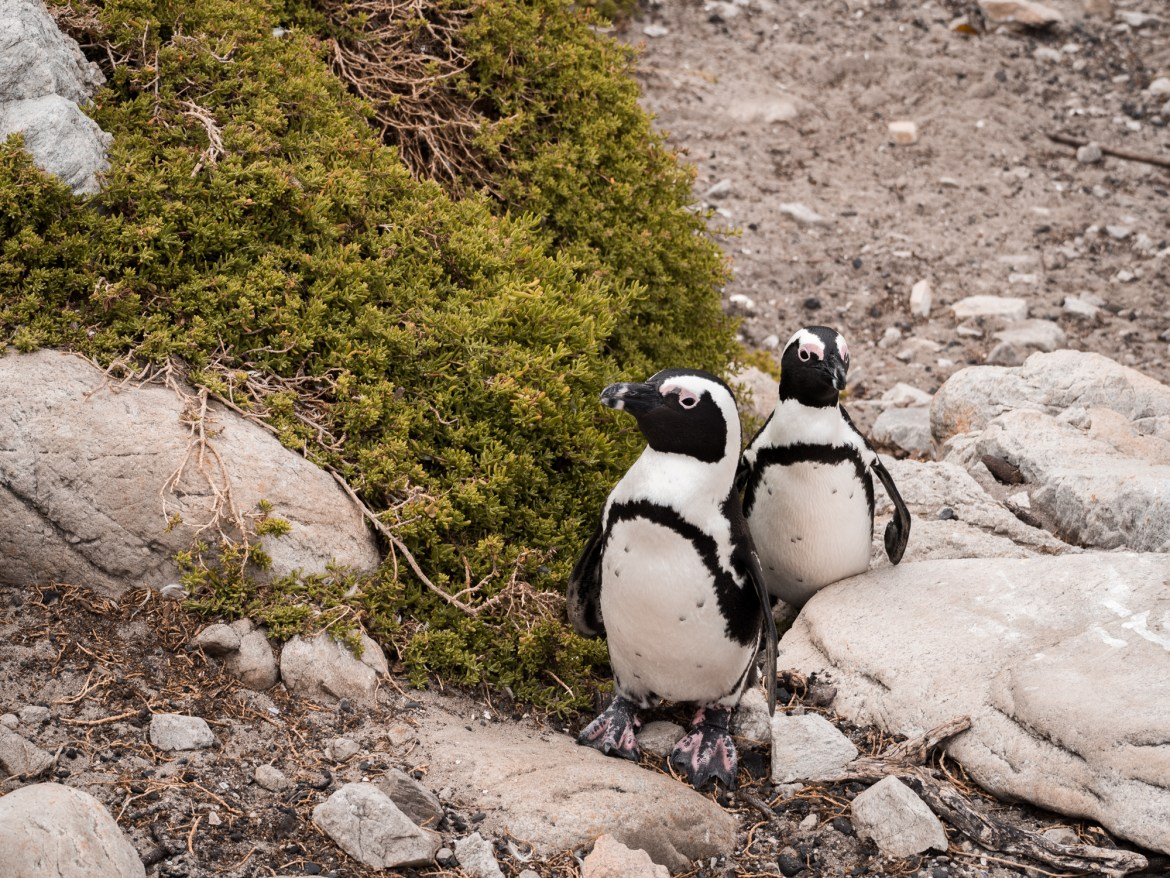 Where to find Penguins in South Africa