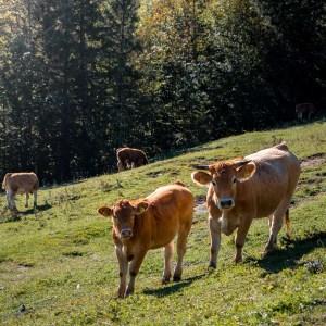 Hohe Dirn Cows