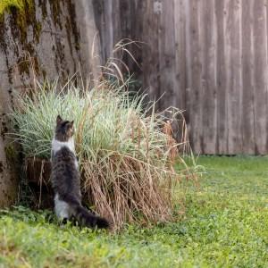 Curious farm cat
