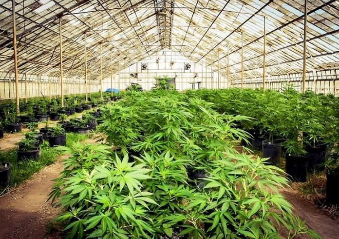 Marijuana Plant Farm