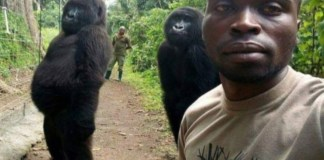 Ndakasi and another orphaned gorilla photobombed a selfie taken by a ranger at the Virunga National Park in 2019.Credit...