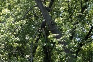 Eagle on branch.