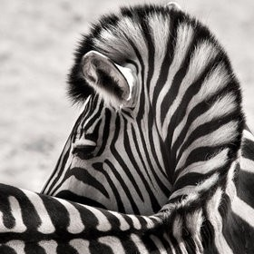 WEAR YOUR STRIPES PROUDLY