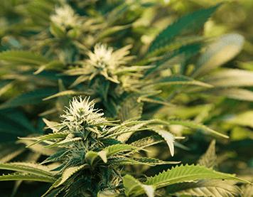 Recreational Marijuana Garden