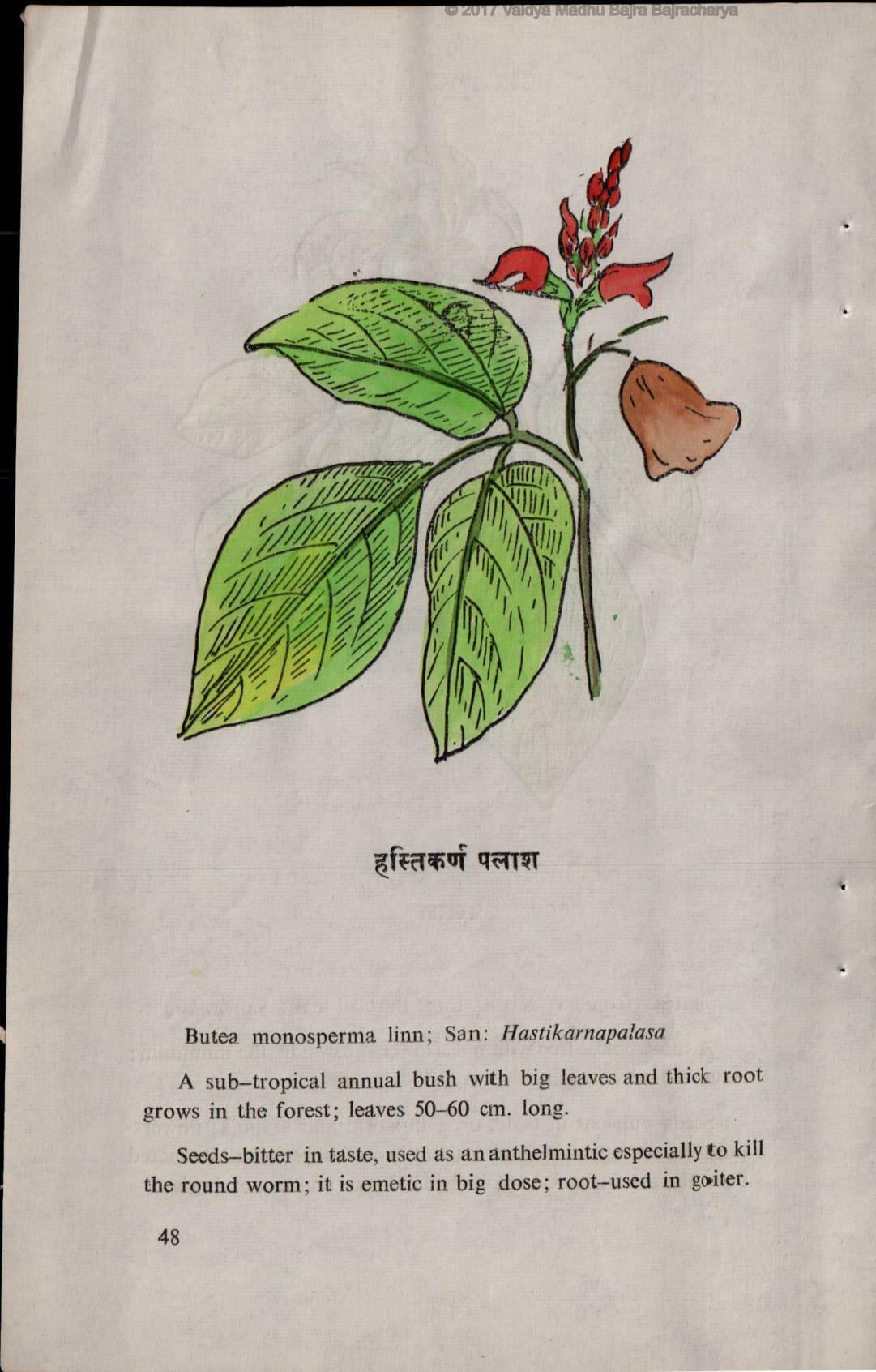 Hastikarnapalasa seeds root - Chrysalis Natural Medicine Clinic