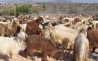 """اعتقال عصابة """" الفراقشية"""" وبحوزتهم 65 رأساً من الماعز"""