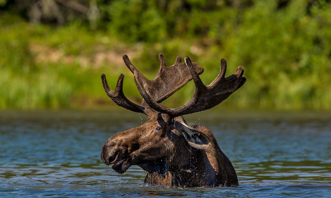 ©Chuck Haney - Bull Moose