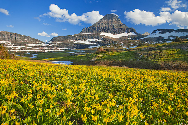 Glacier lillies carpet the meadows at Logan Pass in Glacier National Park in Montana