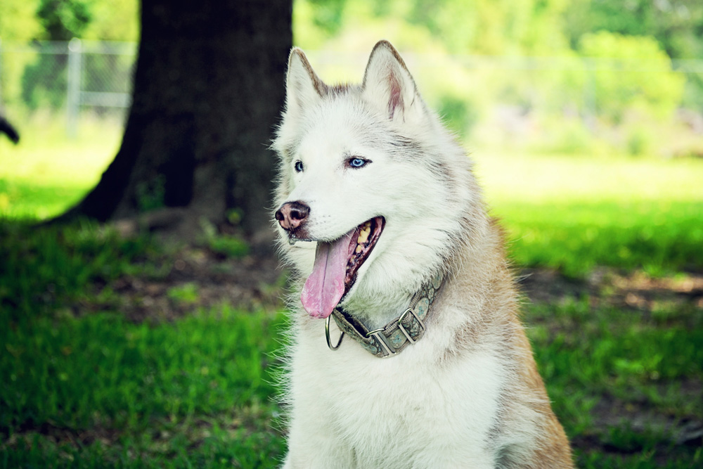 About Chucktown Charley - Emme, the Siberian Husky, loves our Southern Comfort package and her private time out under the beautiful oak tree.